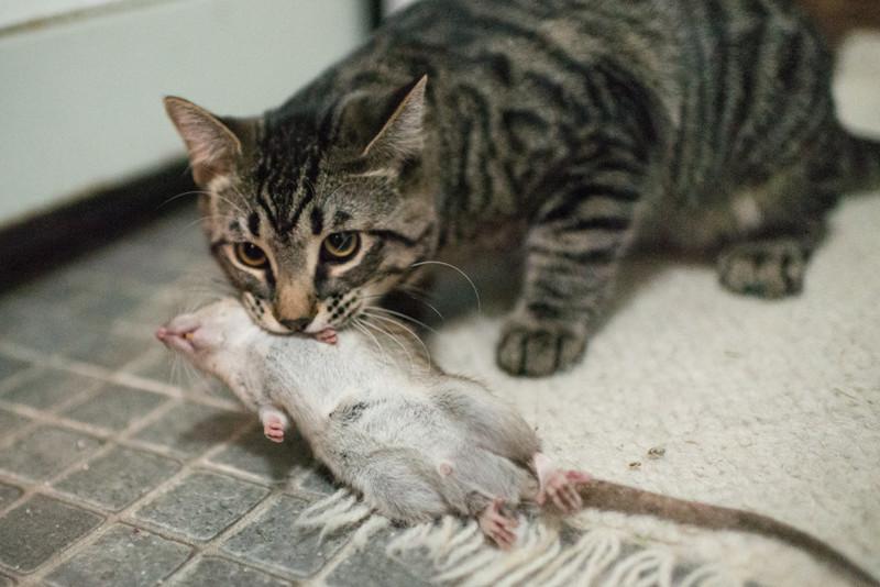причины почему кошка принесет добычу домой