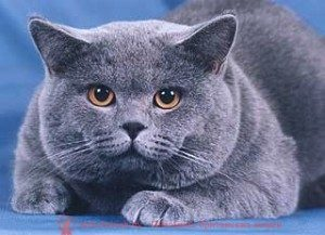 особенности питания британского кота