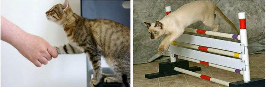 правила дрессировки кошек