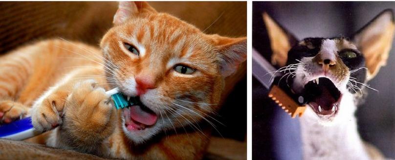 уход за зубами кошки