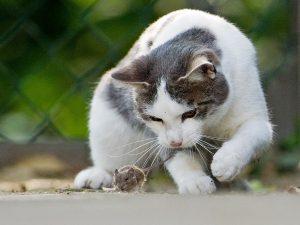 почему кошки приносят добычу хозяину