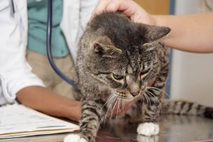 причины выпадения шерсти у кошки