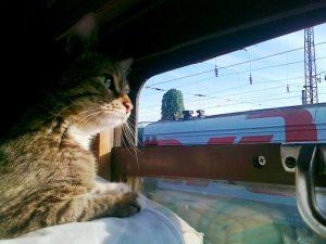 как перевести кошку в поезде