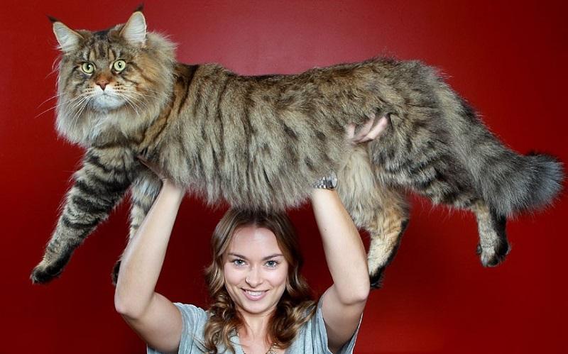 как кормить кота мейн-куна