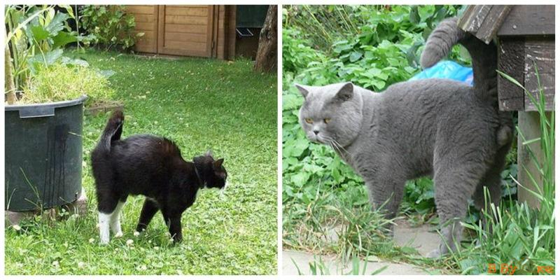 Во сколько коты начинают метить территорию дома