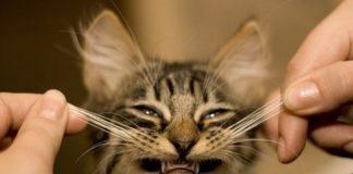 почему нельзя обрезать усы кошкам