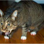 что делать, если кошка сильно кашляет
