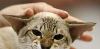 причины такого поведения у кошек