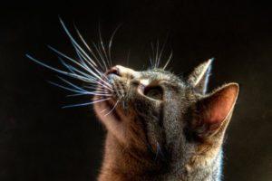 функция усов у кошки