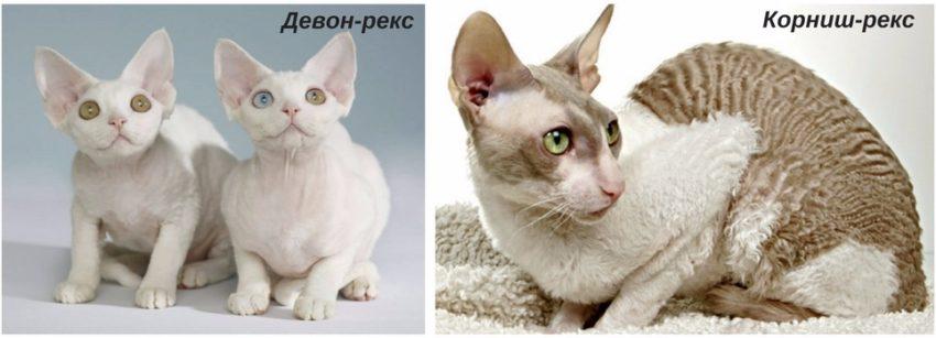 какие породы кошек рекомендуют заводить аллергикам
