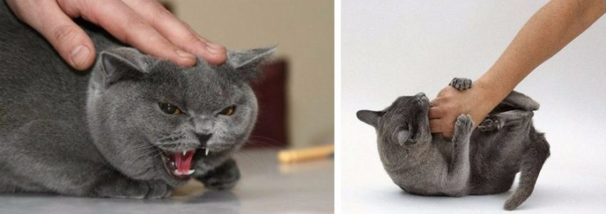 почему кошка кусает, когда ее гладишь