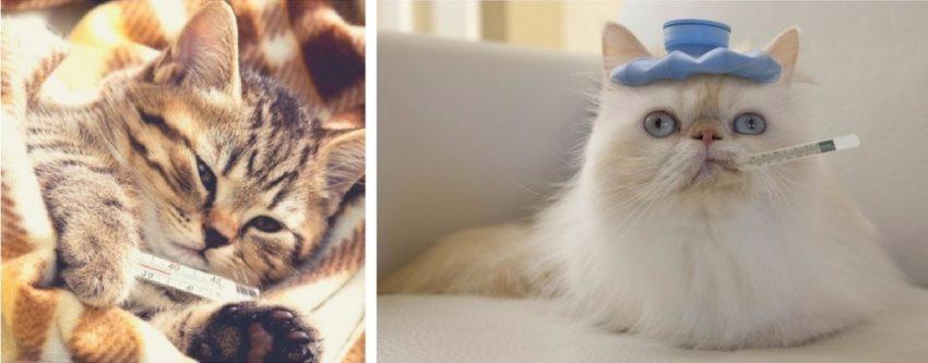 как правильно измерить температуру у кошек