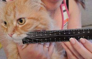 что будет, если обрезать коту усы