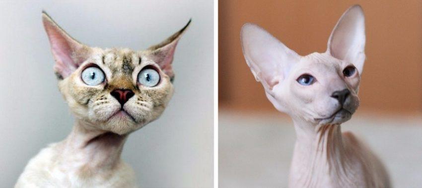 породы котов без усов