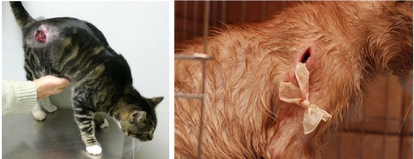 обработка ран кошек