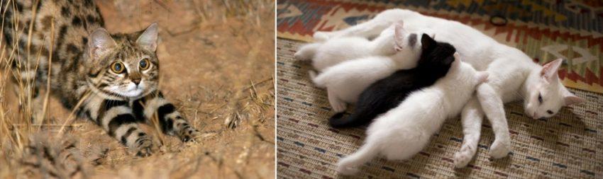 причины молочного шага у кошек