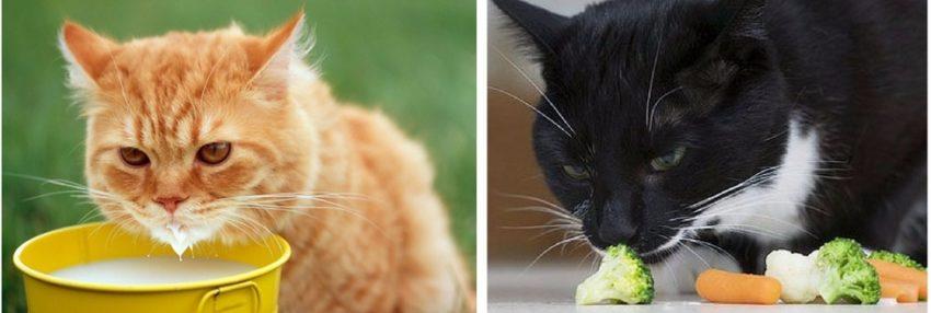 из каких продуктов кот берет воду