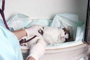 симптомы заболеваний сердца у кошек