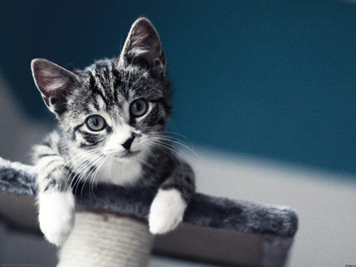 где можно приобрести котенка