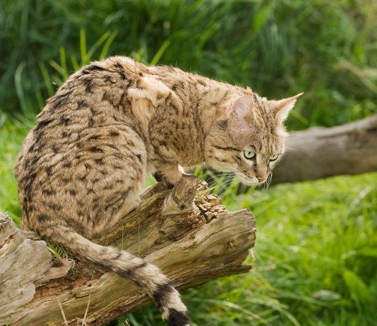 кто является предками кошек