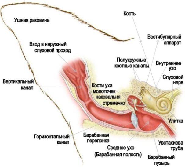 строение ушного аппарата кошки