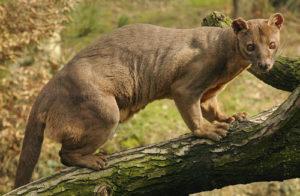 предок кошек