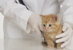 обследование котенка у врача