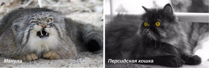 происхождение кошки