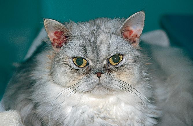 причины отитов у кошки