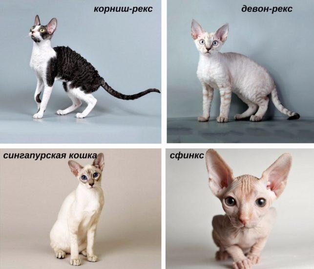 кошки, которые не нуждаются в фурминаторе
