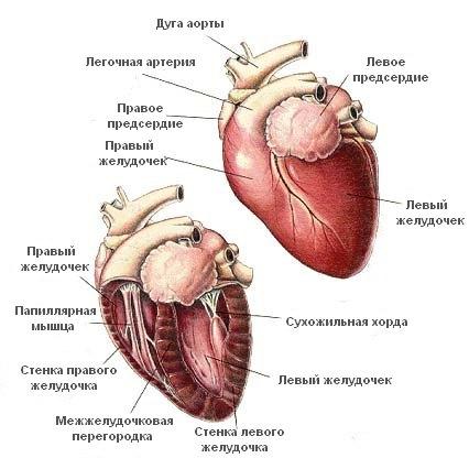 анатомия сердца кошек