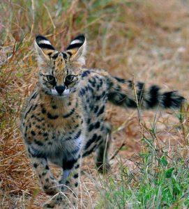 дикая кошка Африки