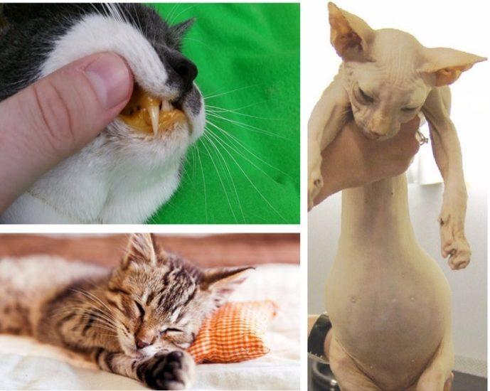 явные признаки цирроза у кошек