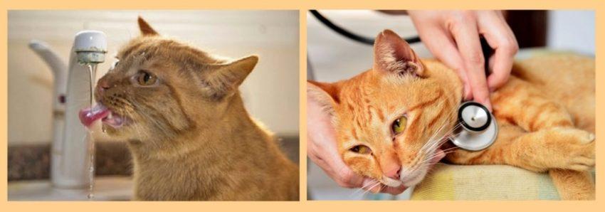 проявления цистита у кошек