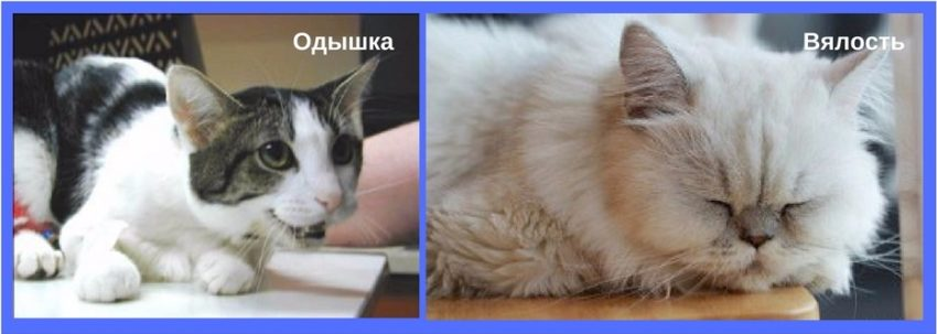 проявления сердечной патологии у кошек