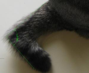 причины вывиха хвоста у кошки