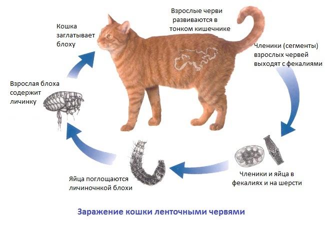 цикл развития ленточного червя