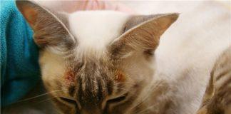 симптомы и лечение экземы у кошек