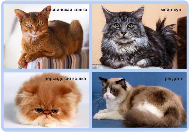 породы кошек, предрасположенные к кардиомиопатии