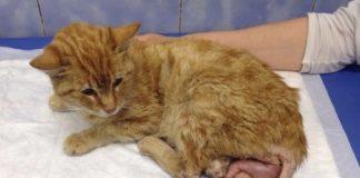 причины и симптомы выпадения матки у кошки