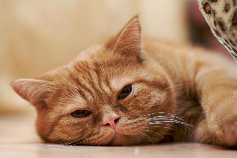 причины и лечение анемии у кошки