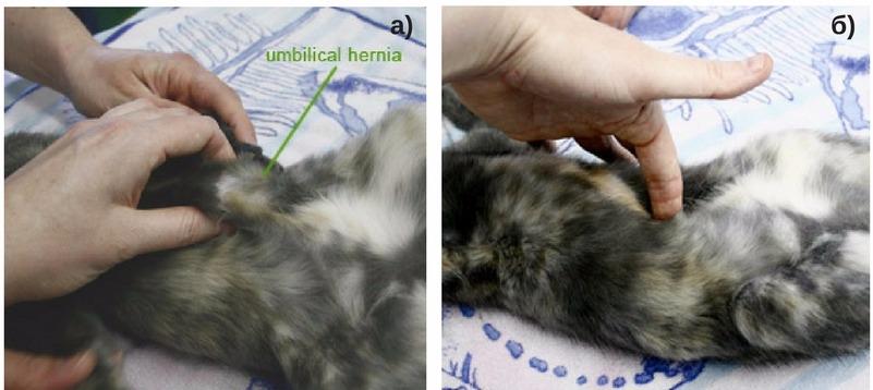 пальцевое вправление грыжи у кошки