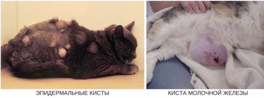 виды кист и кистом у кошек