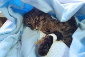 лечение гастрита у кошки