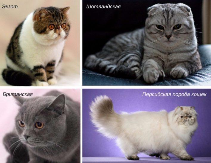 породы кошек, предрасположенные к катаракте