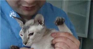 симптомы, диагностика и лечение мастита у кошек