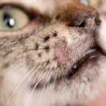 причины лишая у домашней кошки