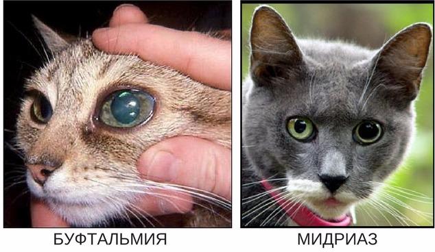 симптомы глаукомы у кошек