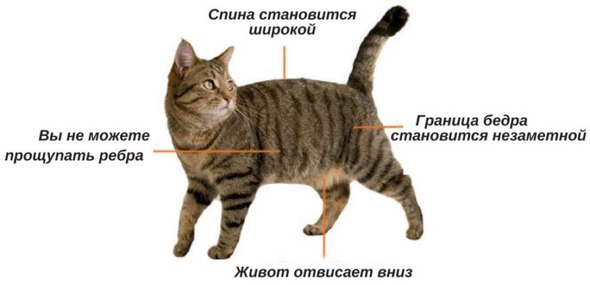 как определить ожирение у кошки