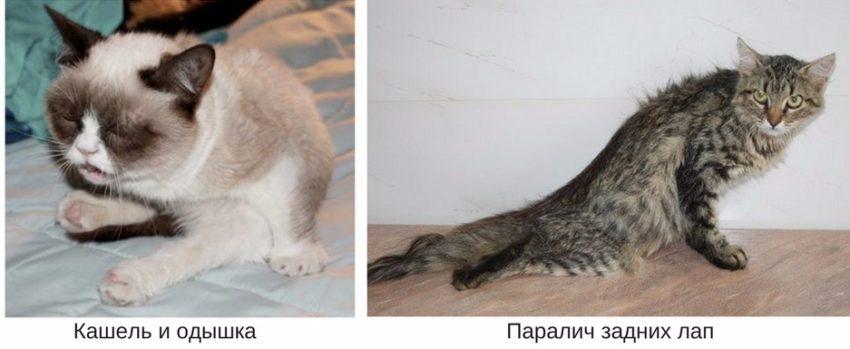 признаки гипертрофической кардиомиопатии у кошек